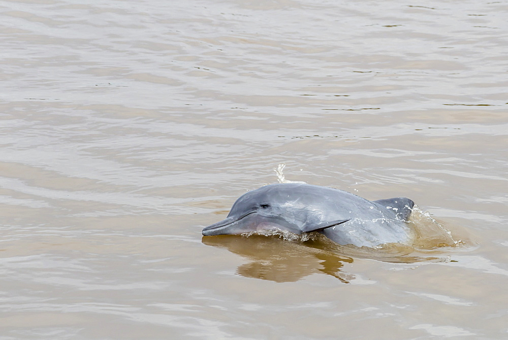 Adult gray dolphin (bufeo gris) (Sotalia fluviatilis), Amazon National Park, Loreto, Peru, South America