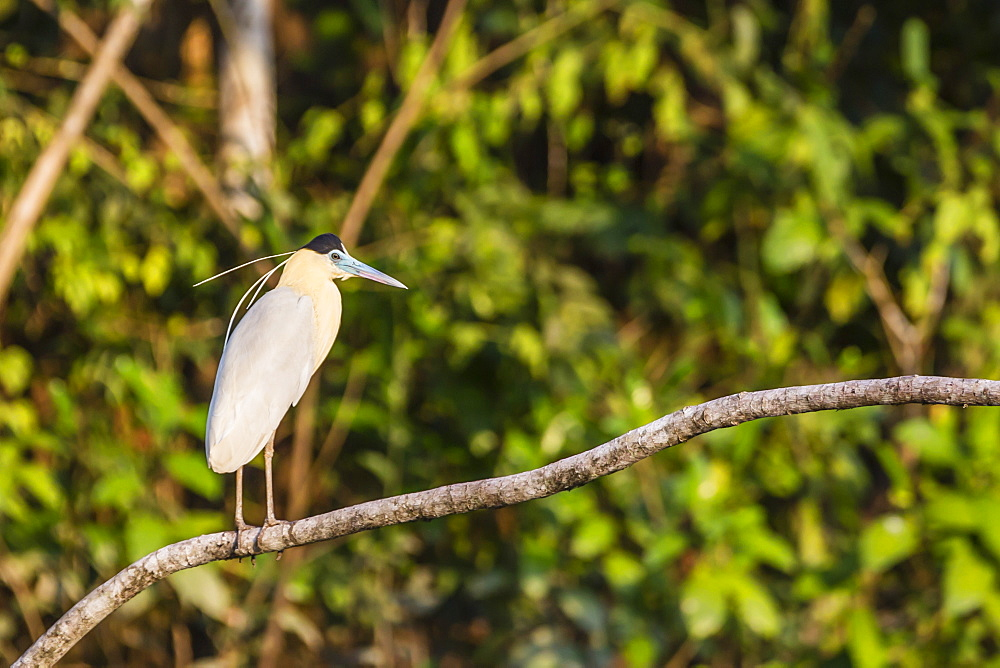 Adult capped heron (Pilherodius pileatus), Rio Yanayacu, Pacaya-Samiria National Reserve, Loreto, Peru, South America