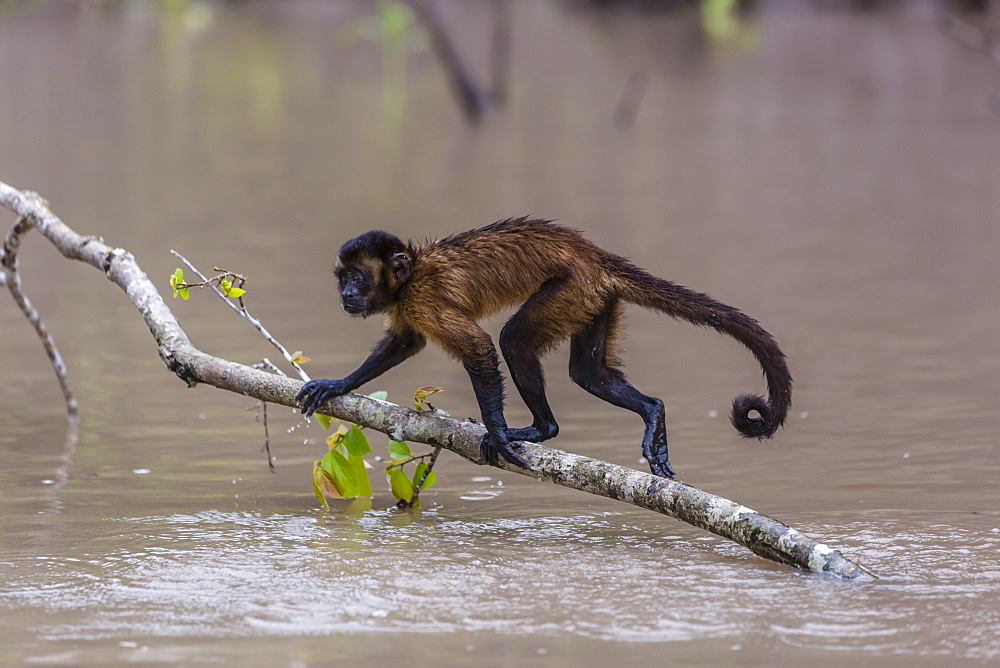 Adult tufted capuchin (Sapajus apella) crossing the water at San Miguel Caño, Loreto, Peru, South America