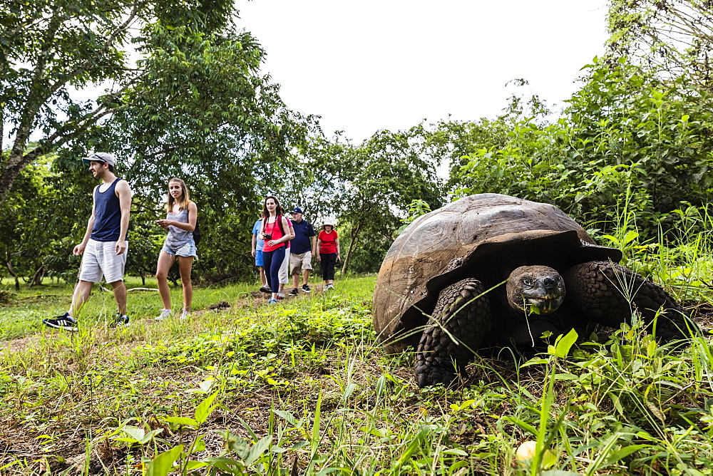 Wild Galapagos giant tortoise (Geochelone elephantopus), with tourists on Santa Cruz Island, Galapagos, UNESCO World Heritage Site, Ecuador, South America