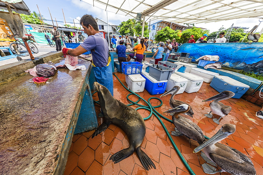 Scenes from the fish market in the port town of Puerto Ayora, Santa Cruz Island, Galápagos, Ecuador.