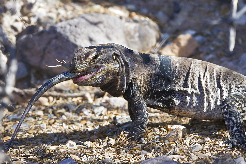 San Esteban spiny-tailed iguana (Ctenosaura conspicuosa) eating smaller lizard, Isla San Esteban, Gulf of California (Sea of Cortez), Baja California, Mexico, North America