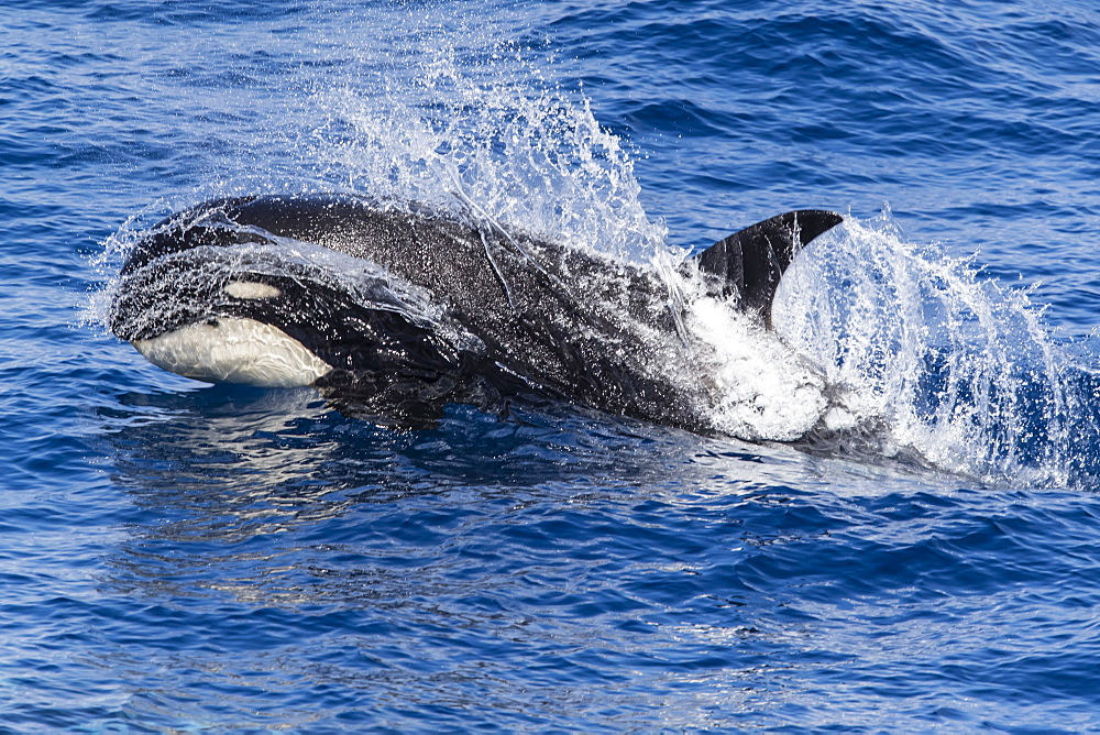 Sub Antarctic killer whale surfacing the water image