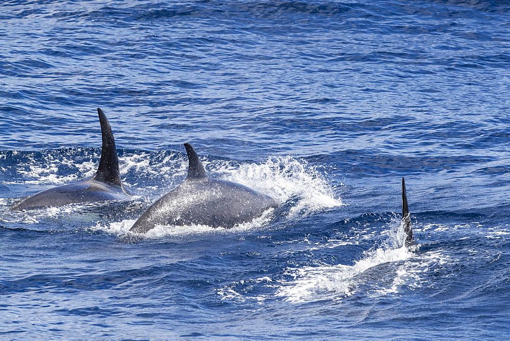Adult Type D (sub-Antarctic) killer whale (Orcinus orca), surfacing in the Drake Passage, Antarctica, Polar Regions