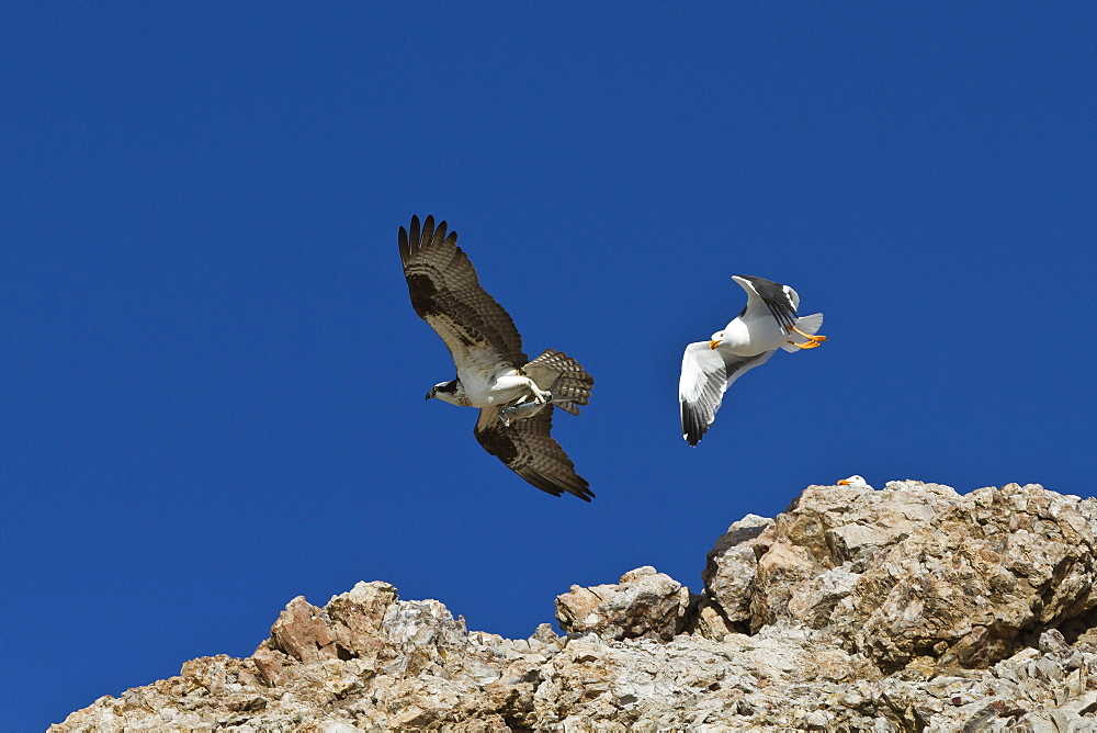 Adult osprey (Pandion haliaetus) with fish, and yellow-footed gull (Larus livens), Gulf of California (Sea of Cortez) Baja California Sur, Mexico, North America