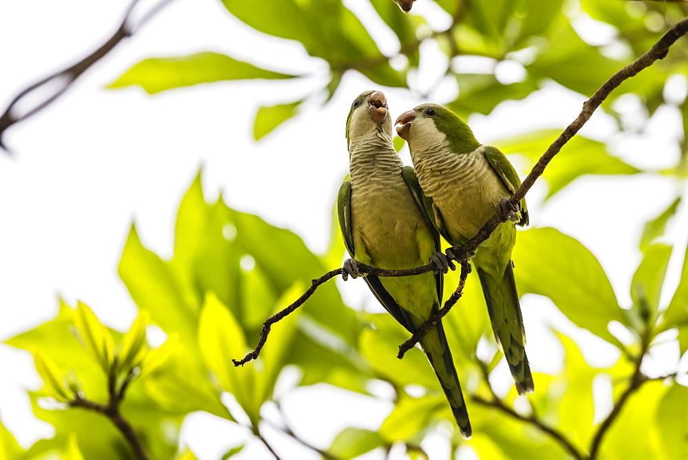 A pair of monk parakeets, Myiopsitta monachus, Pousado Alegre, Mato Grosso, Brazil.