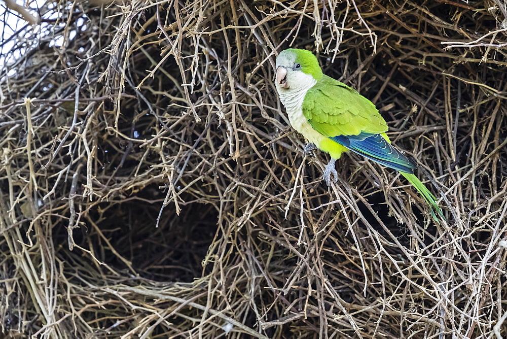 An adult monk parakeet, Myiopsitta monachus, building a communal nest. Pousado Alegre, Brazil.