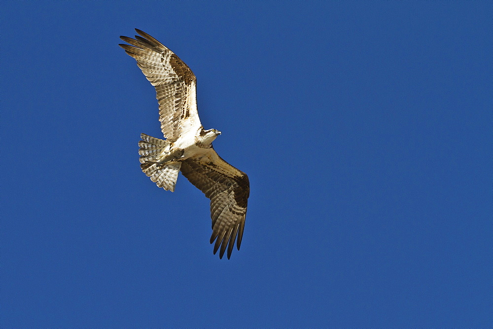 Adult osprey (Pandion haliaetus) with fish, Gulf of California (Sea of Cortez) Baja California Sur, Mexico, North America