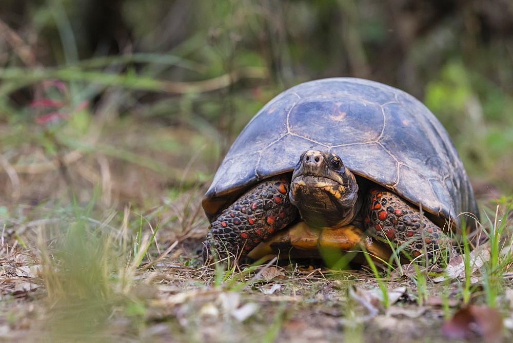 An adult red-footed tortoise (Chelonoidis carbonarius), Pousado Rio Claro, Mato Grasso, Brazil, South America