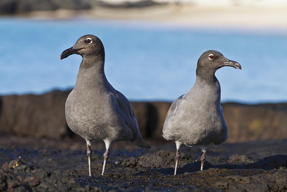 Lava gulls (leucophaeus fuliginosus), Cerro Brujo, San Cristobal Island, Galapagos Islands, UNESCO World Heritage Site, Ecuador, South America