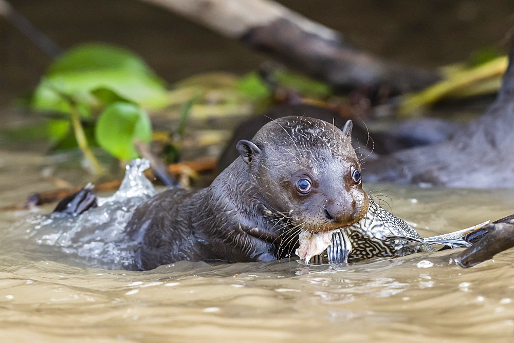 Young giant river otter (Pteronura brasiliensis), feeding near Puerto Jofre, Mato Grosso, Pantanal, Brazil, South America