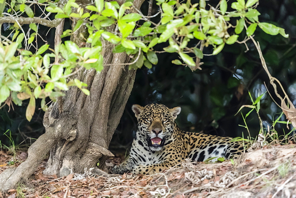 An adult jaguar (Panthera onca), on the riverbank of the Rio Tres Irmao, Mato Grosso, Brazil, South America