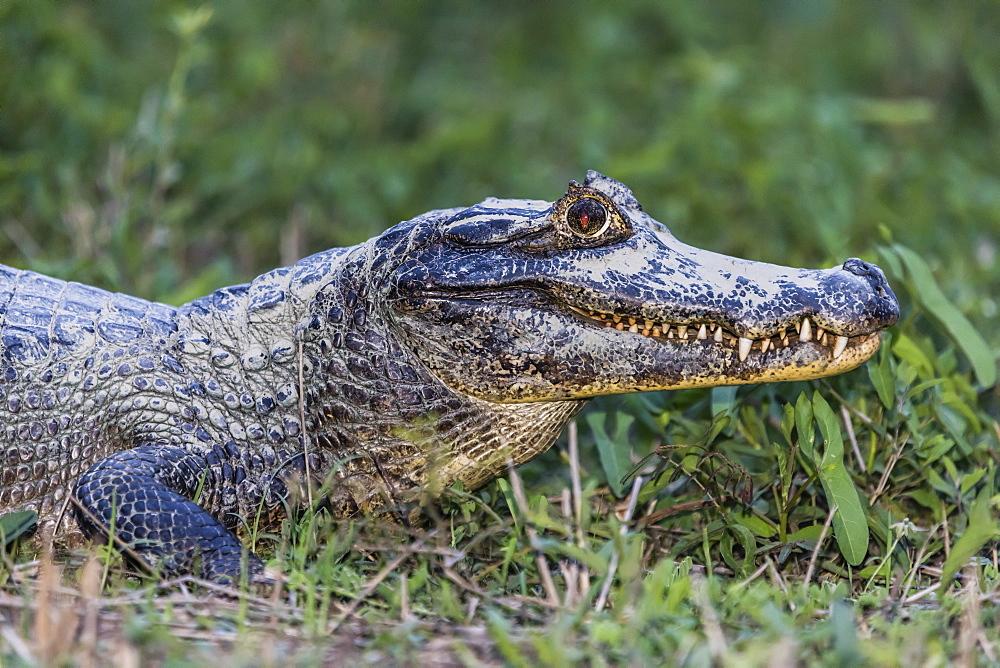 An adult yacare caiman, Caiman yacare, head detail, Pousado Alegre, Mato Grosso, Brazil.