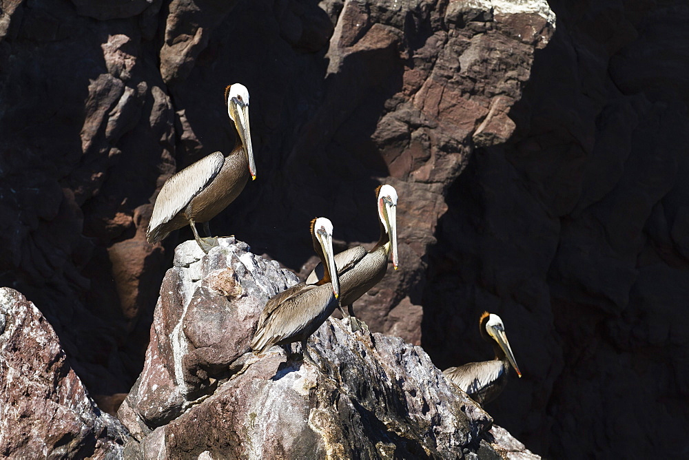 Adult brown pelicans (Pelecanus occidentalis), Gulf of California (Sea of Cortez), Baja California, Mexico, North America