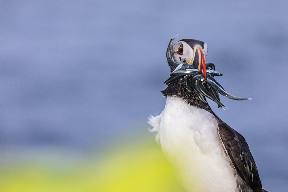 Adult Atlantic puffin, Fratercula arctica, with small fish caught in its bill, Grimsey Island, Iceland. - 1112-3634