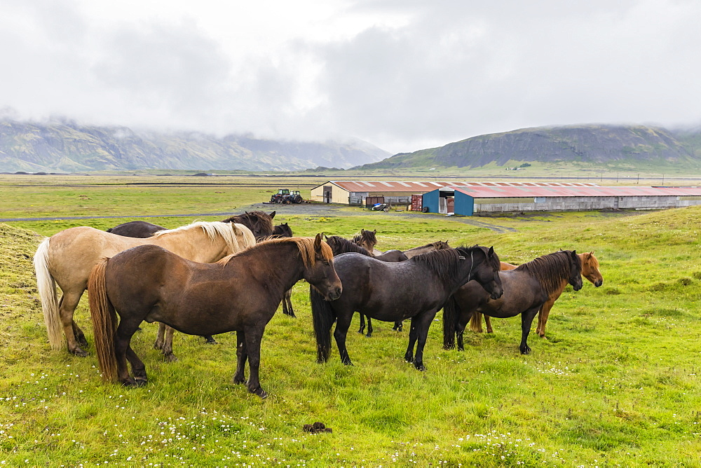 A herd of Icelandic horses on a farm on the southeast coast of Iceland, Polar Regions