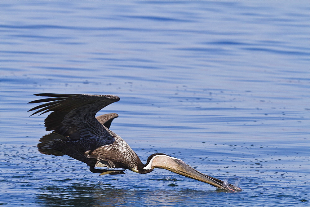 Adult brown pelican (Pelecanus occidentalis) plunge-diving, Gulf of California (Sea of Cortez), Baja California, Mexico, North America