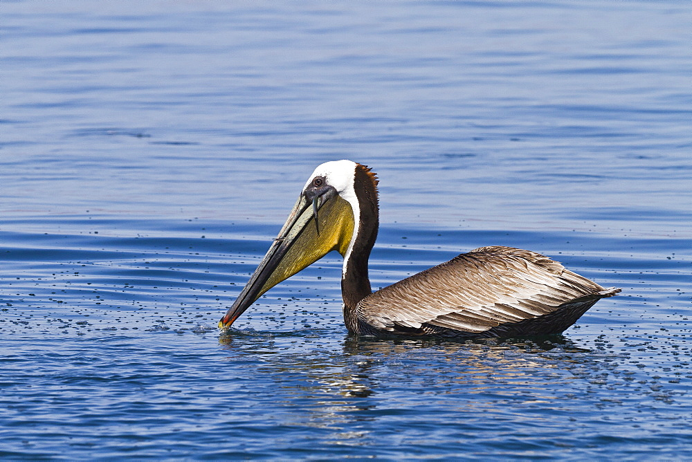 Adult brown pelican (Pelecanus occidentalis) with fish, Gulf of California (Sea of Cortez), Baja California, Mexico, North America