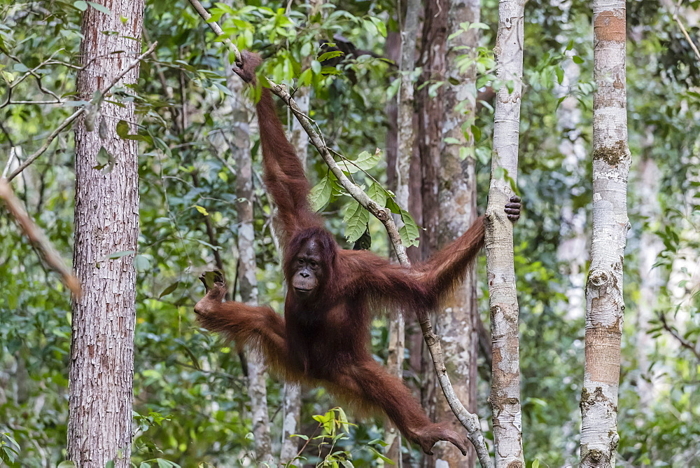 Young Bornean orangutan, Pongo pygmaeus, at Camp Leakey, Borneo, Indonesia. - 1112-3655