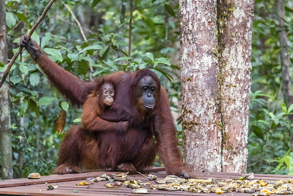 Mother and baby Bornean orangutans, Pongo pygmaeus, Camp Leakey feeding platform, Borneo, Indonesia. - 1112-3656