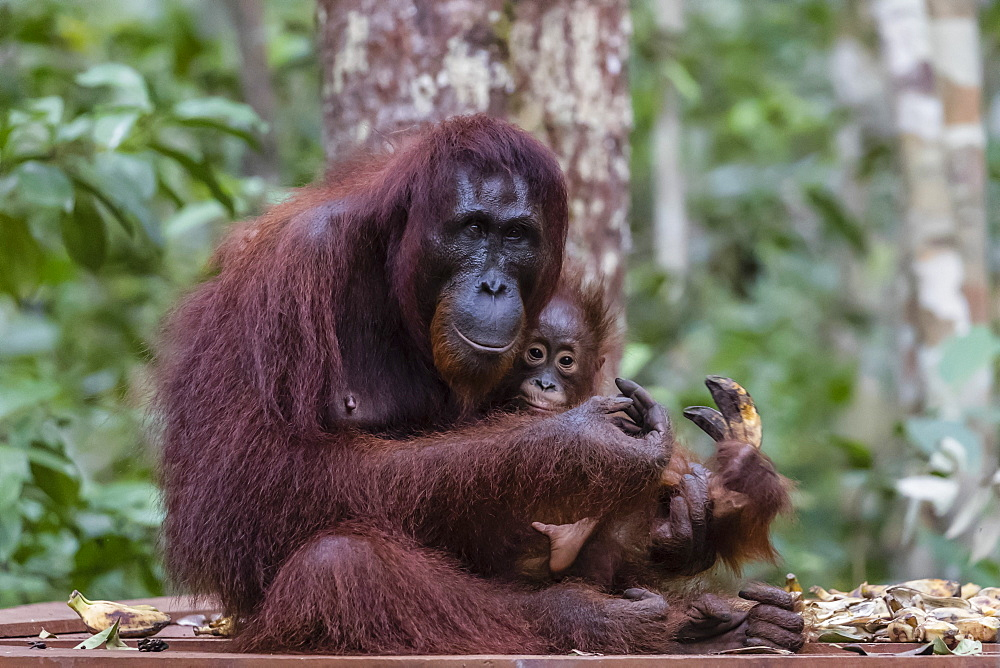 Mother and baby Bornean orangutan (Pongo pygmaeus), Camp Leakey, Borneo, Indonesia, Southeast Asia, Asia