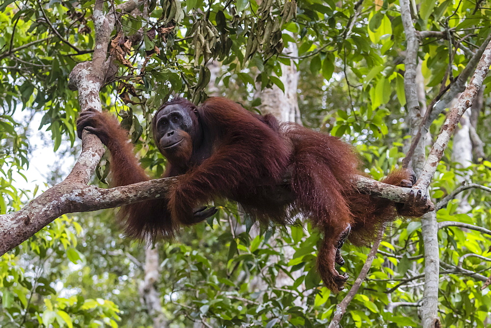 Male Bornean orangutan (Pongo pygmaeus) at Camp Leakey dock, Borneo, Indonesia, Southeast Asia, Asia