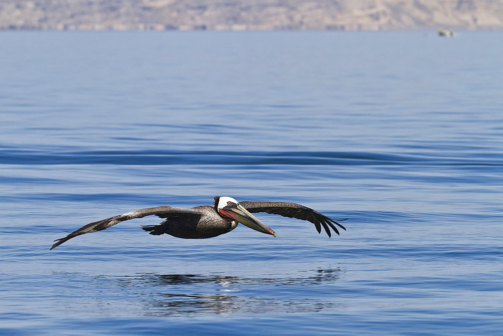 Adult brown pelican (Pelecanus occidentalis), Gulf of California (Sea of Cortez), Baja California, Mexico, North America