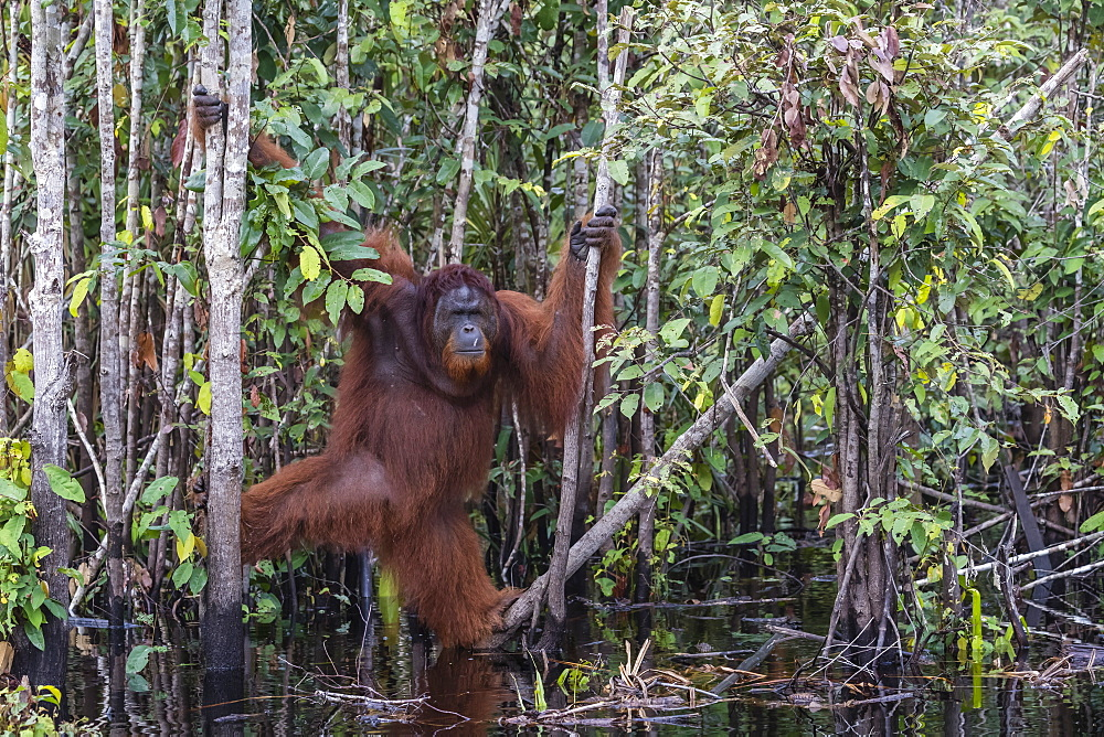 Wild male Bornean orangutan, Pongo pygmaeus, on the Buluh Kecil River, Borneo, Indonesia. - 1112-3661