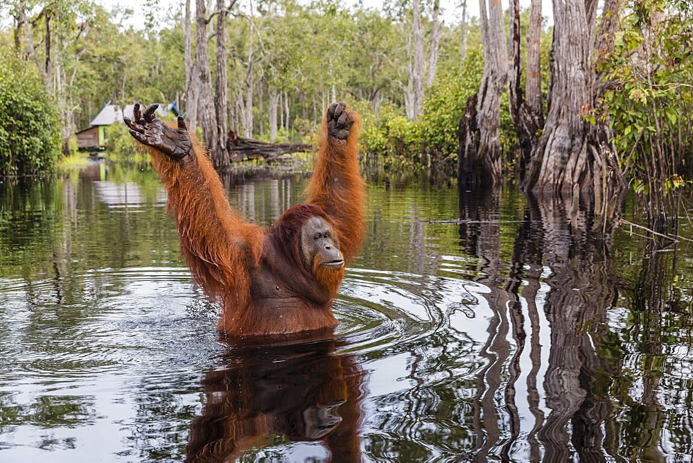Wild male Bornean orangutan, Pongo pygmaeus, on the Buluh Kecil River, Borneo, Indonesia. - 1112-3663