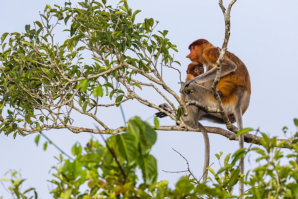 Female proboscis monkey, Nasalis larvatus, with baby, Tanjung Puting National Park, Borneo, Indonesia. - 1112-3665