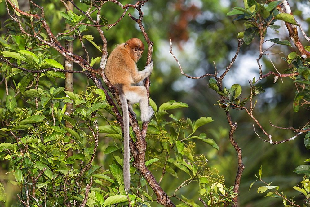Young proboscis monkey, Nasalis larvatus, Tanjung Puting National Park, Borneo, Indonesia. - 1112-3666