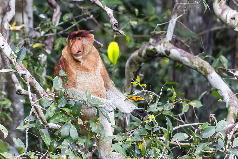Adult male proboscis monkey (Nasalis larvatus), Tanjung Puting National Park, Kalimantan, Borneo, Indonesia, Southeast Asia, Asia