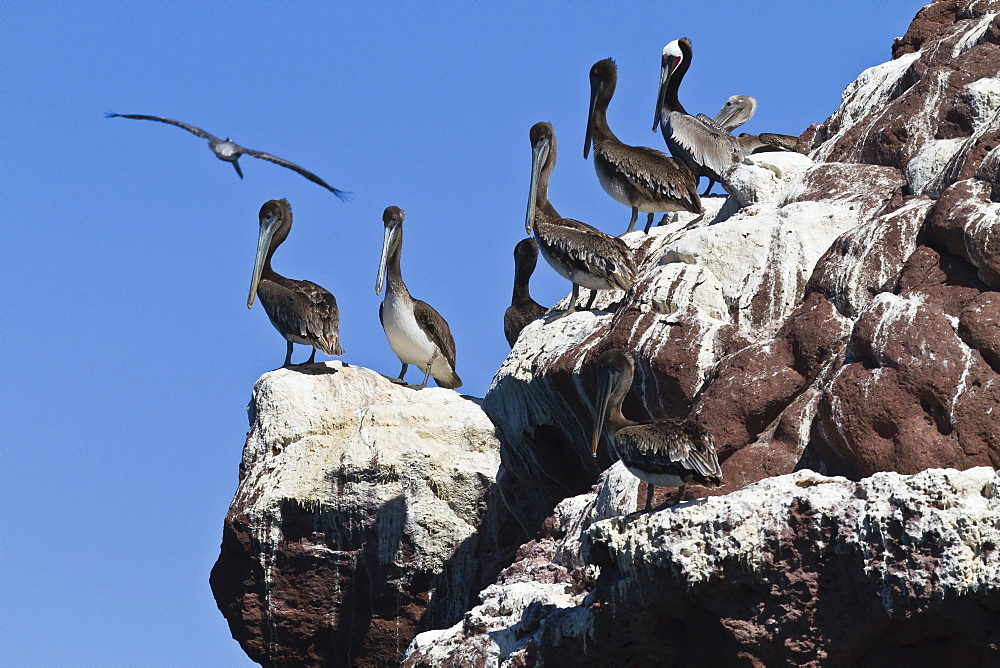 Brown pelicans (Pelecanus occidentalis), Gulf of California (Sea of Cortez), Baja California, Mexico, North America