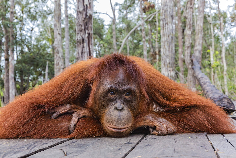 Mother Bornean orangutan (Pongo pygmaeus) on feeding platform, Buluh Kecil River, Borneo, Indonesia, Southeast Asia, Asia