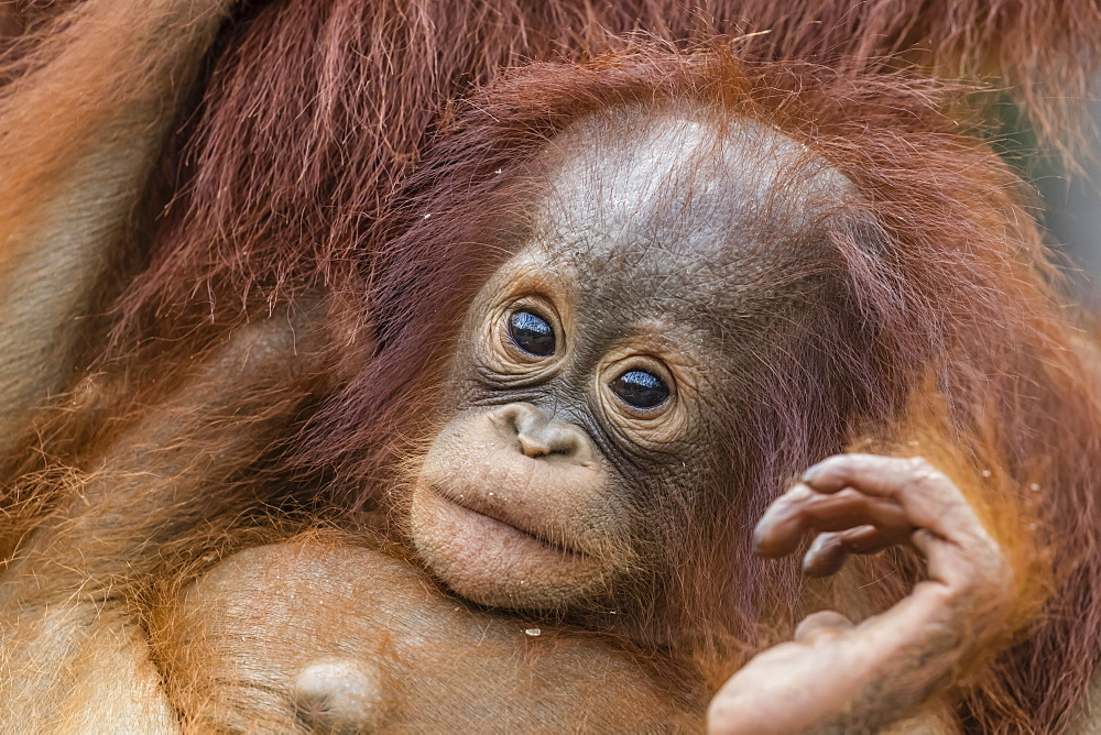 Mother and baby Bornean orangutans (Pongo pygmaeus), Buluh Kecil River, Borneo, Indonesia, Southeast Asia, Asia