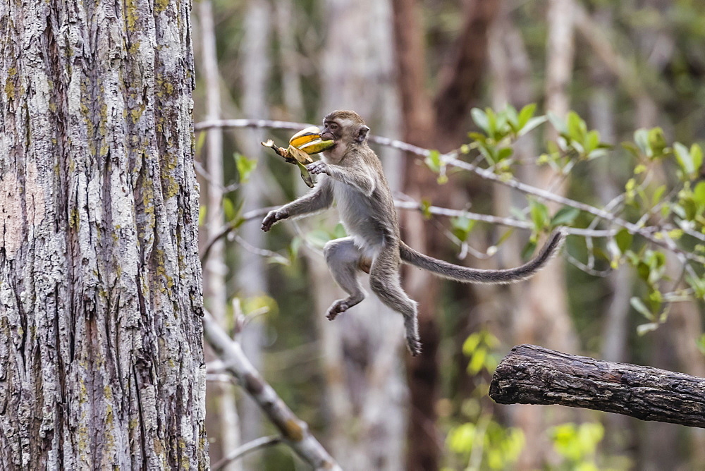 Long-tailed macaque (Macaca fascicularis), leaping with bananas, Borneo, Indonesia, Southeast Asia, Asia