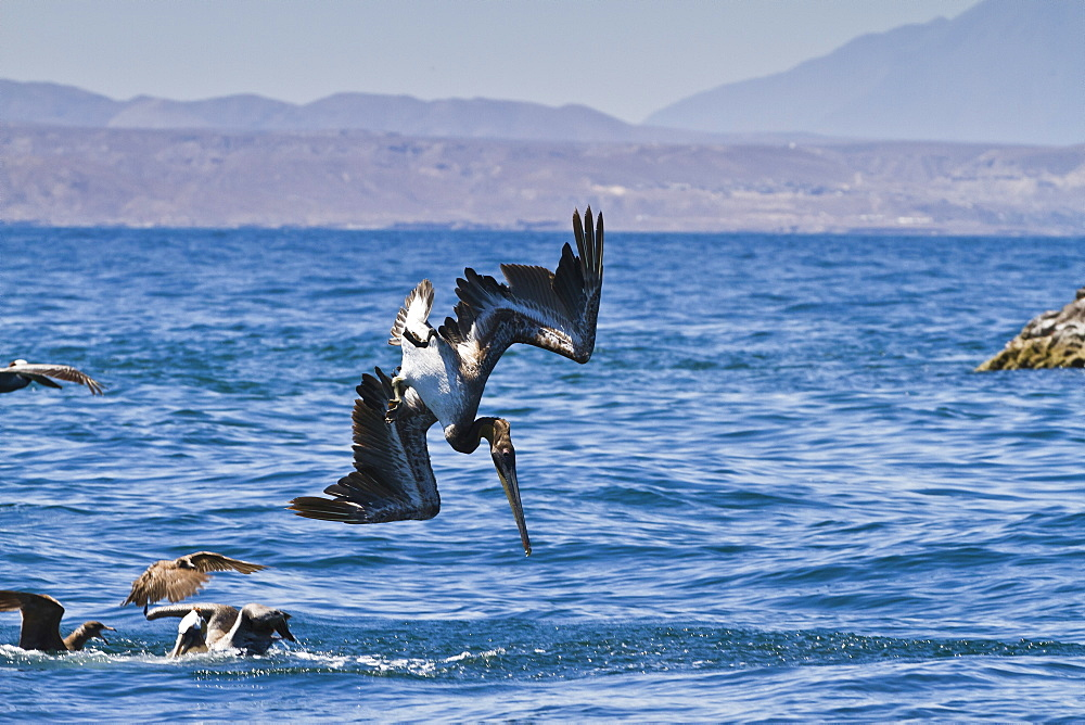 Juvenile brown pelican (Pelecanus occidentalis) plunge-diving, Gulf of California (Sea of Cortez), Baja California, Mexico, North America