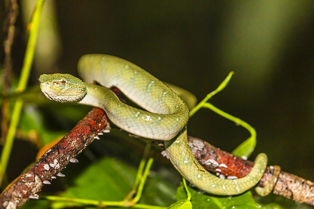 Bornean keeled green pit viper (Tropidolaemus subannulatus), Tanjung Puting National Park, Kalimantan, Borneo, Indonesia, Southeast Asia, Asia - 1112-3686