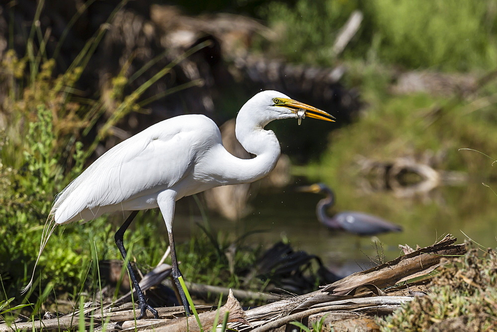 An adult great egret, Ardea alba, with fish at Los Cabos, Baja California Sur, Mexico. - 1112-3687
