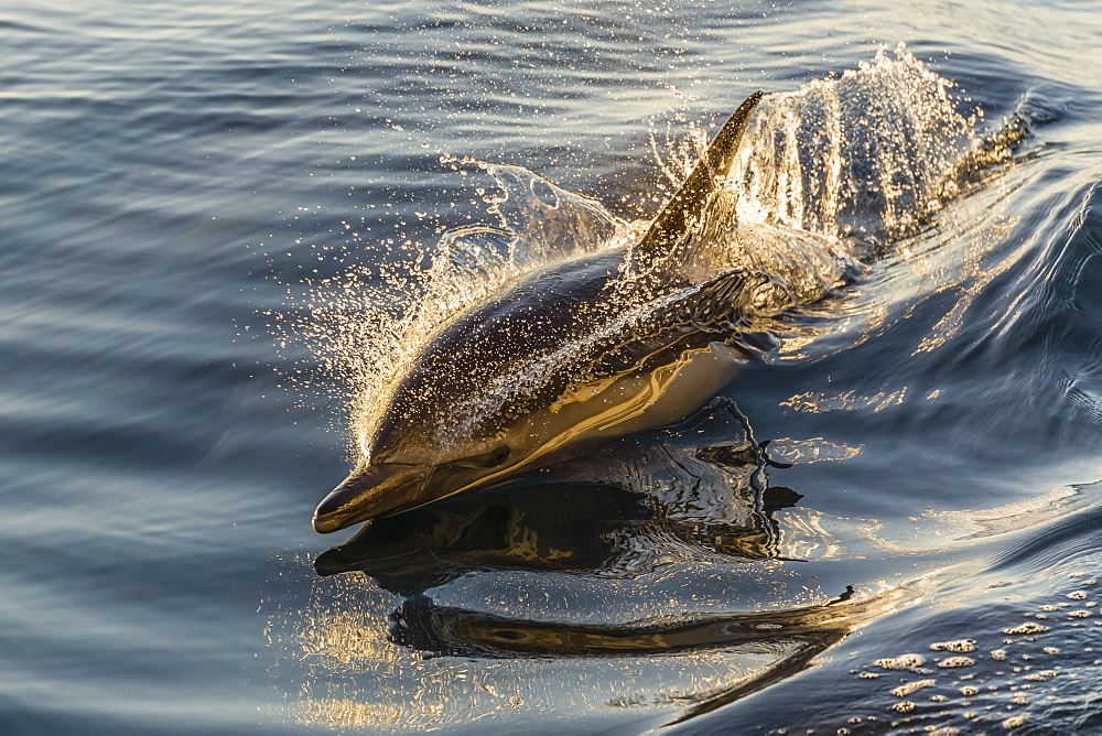 Long-beaked common dolphin (Delphinus capensis) wake riding, Isla Danzante, Baja California Sur, Mexico, North America