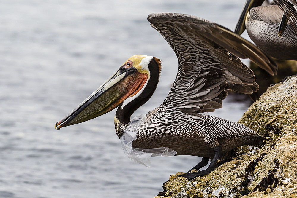Adult brown pelican (Pelecanus occidentalis), with plastic bag, Santa Rosalia Harbor, Baja California Sur, Mexico, North America