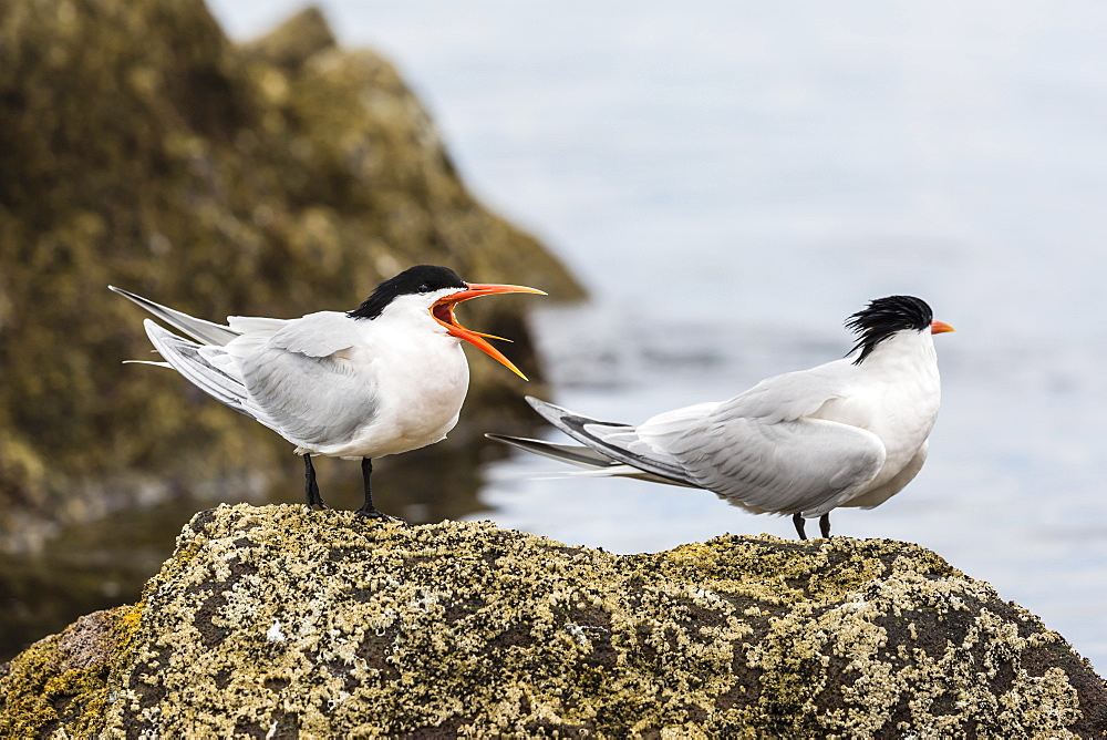 Elegant terns (Thalasseus elegans), at breeding colony on Isla Rasa, Baja California, Mexico, North America