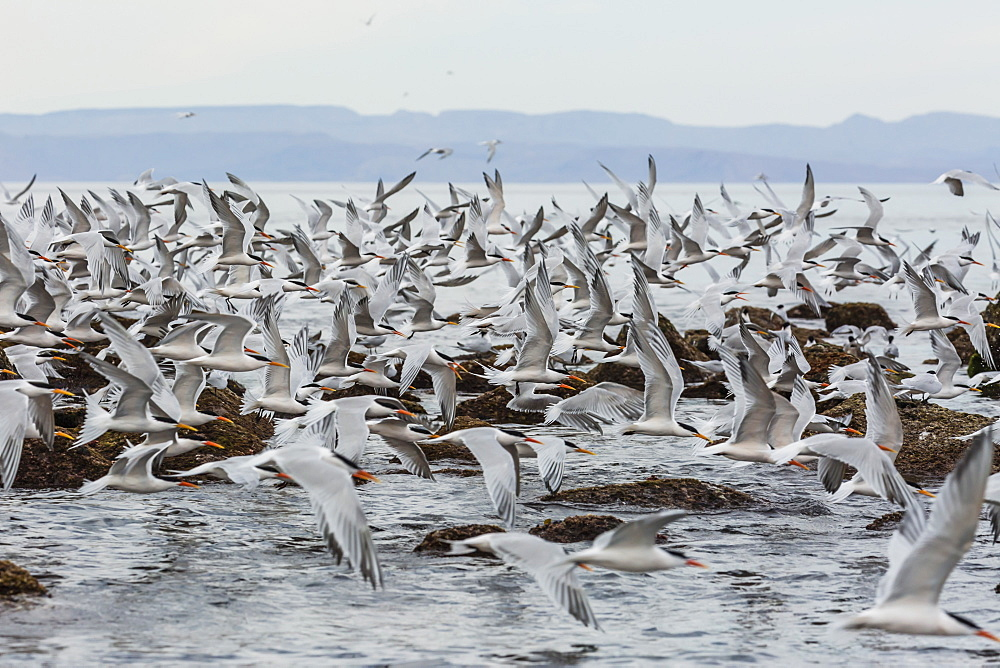 Elegant terns, Thalasseus elegans, in flight at breeding colony on Isla Rasa, Baja California, Mexico. - 1112-3699