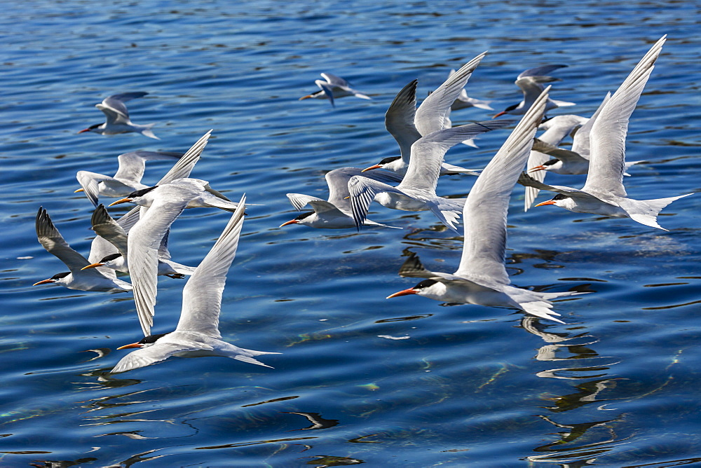 Elegant terns (Thalasseus elegans) in flight at breeding colony on Isla Rasa, Baja California, Mexico, North America