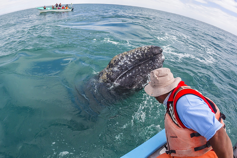 California gray whale calf, Eschritius robustus, with tourists in San Ignacio Lagoon, Baja California Sur, Mexico. - 1112-3706