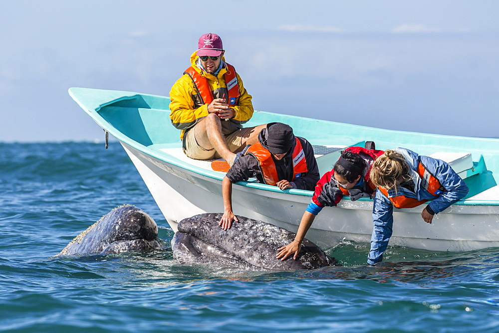 California gray whale calf, Eschritius robustus, with tourists in San Ignacio Lagoon, Baja California Sur, Mexico. - 1112-3707