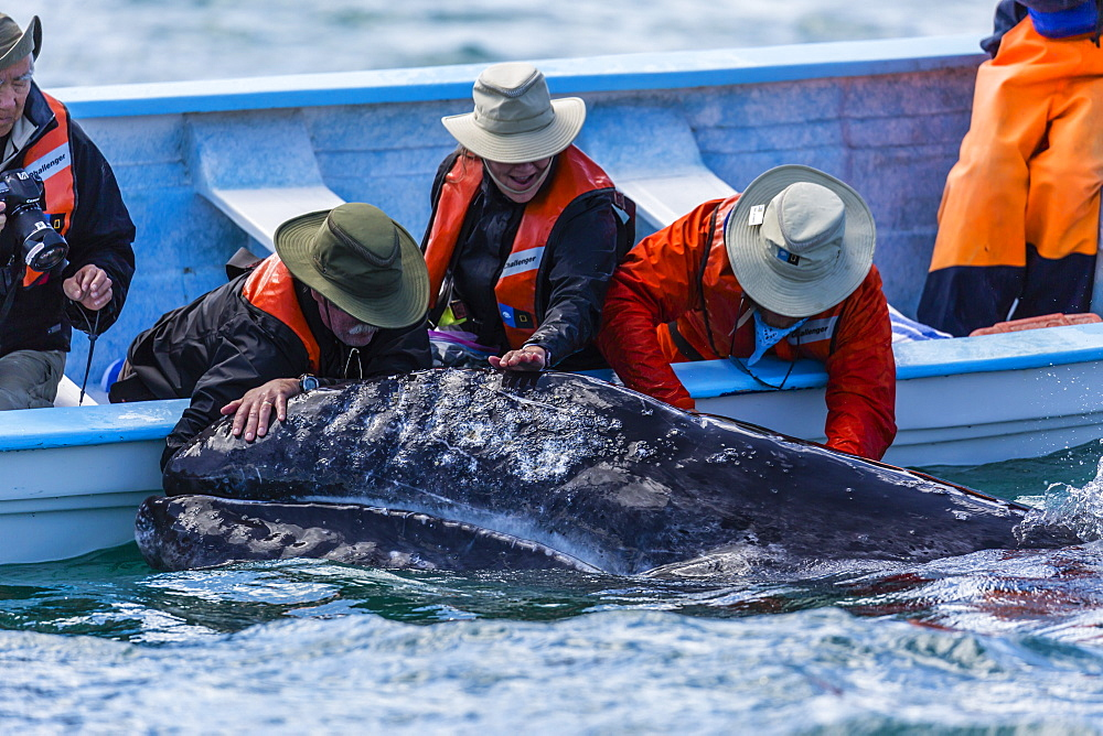 California gray whale calf, Eschritius robustus, with tourists in San Ignacio Lagoon, Baja California Sur, Mexico. - 1112-3708