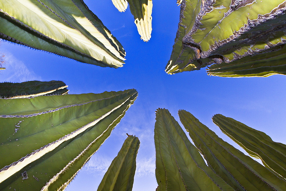 Cardon cactus (Pachycereus pringlei), Isla Catalina, Gulf of California (Sea of Cortez), Baja California, Mexico, North America