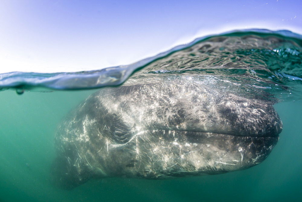 California gray whale calf, Eschritius robustus, half above half below, San Ignacio Lagoon, BCS, Mexico. - 1112-3711