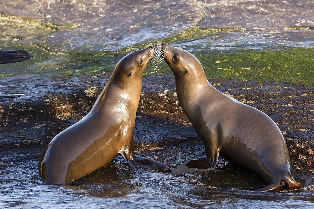 Young California sea lions, Zalophus californianus, mock fighting, Isla San Pedro Martir, Baja California, Mexico.